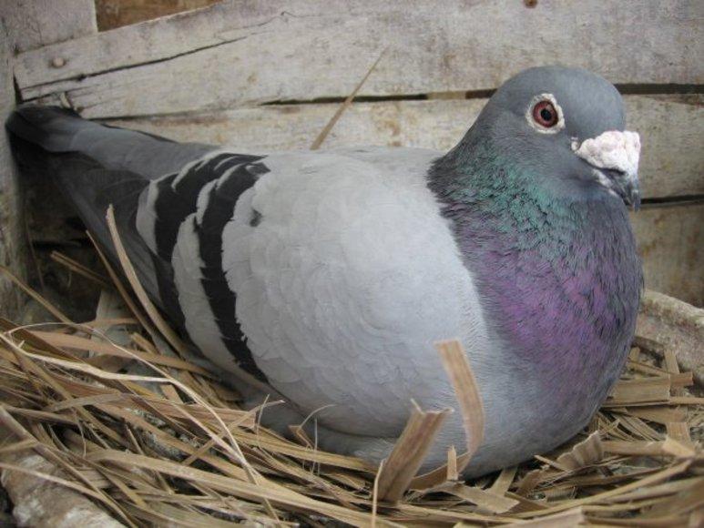 113320pigeon-voyageur.jpg